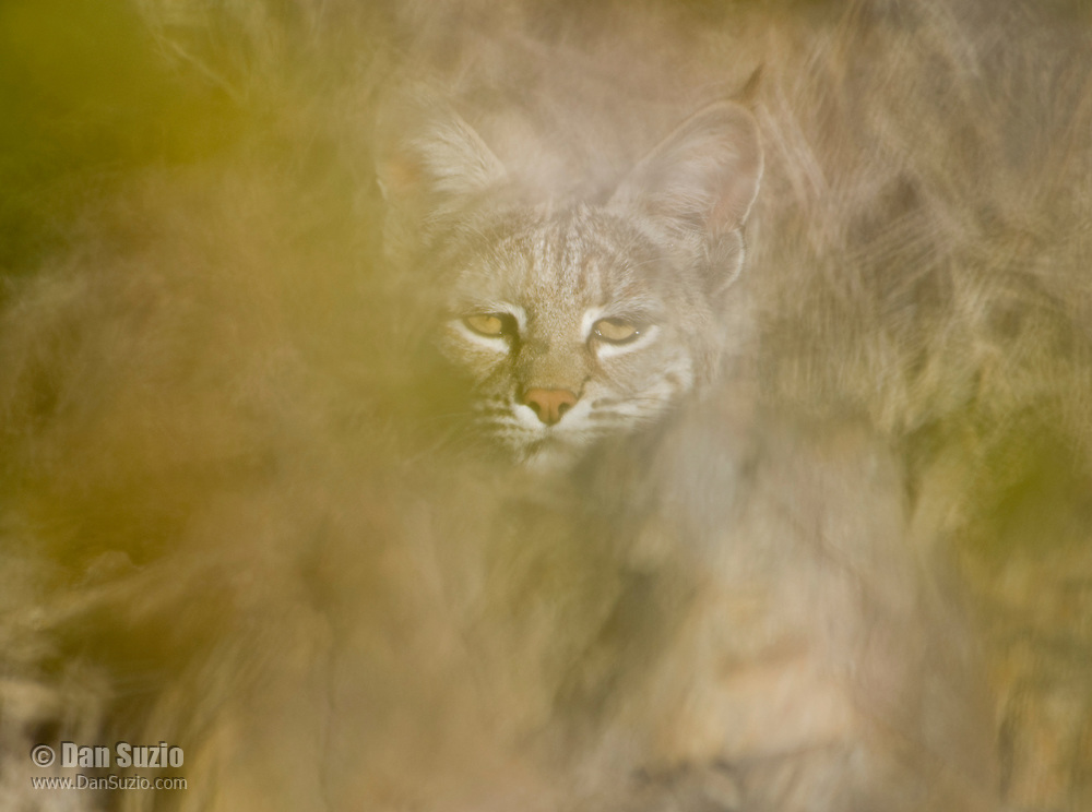 Bobcat, Lynx rufus (Felis rufus), partially concealed behind a bush in Death Valley National Park, California