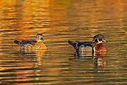 Wood duck (Aix sponsa) male and female<br />Winnipeg<br />Manitoba<br />Canada