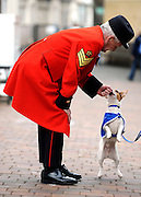 London News pictures. 24.02.2011. Sachk Shailes (correct) a Chelsea Pensioner meets one of Battersea Dog and Cats Home's residents, Buster the Jack Russel. Starting in March, the Chelsea Pensioners will become well acquainted with the dogs and cats at the charity at Battersea Dogs and Cats home, when Battersea walks its dogs across the Thames River to spend time at the Royal Hospital. In turn, the charity will invite the veteran British Army soldiers in to interact with the many animals it takes in every year. Picture Credit should read Stephen Simpson/LNP