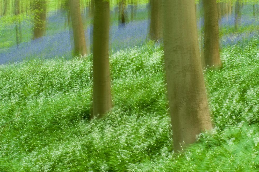 Wild garlic Allium ursinum and bluebells Hyacinthoides non-scripta carpet in Hallerbos forest, Belgium