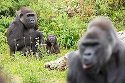 © Licensed to London News Pictures; 18/08/2021; Bristol, UK. Pictured, baby Hasani with his surrogate mum Kera, and dad Jock in the foreground. Hasani, Bristol Zoo Gardens' surrogate-raised gorilla turns one year old on his first birthday. Hasani the critically endangered western lowland gorilla was born in the early hours of 19 August last year, is developing at the same rate as a human infant, has around 10 teeth and drinks four bottles of milk a day. He was born to mum Kala and father Jock -- the zoo's silverback -- but a lack of confidence shown by his mother following the birth led to her refusing to care for him. It was decided Hasani would be hand-reared by his dedicated keepers at the zoo who took it in turns to look after him, both day and night. During his first five months of life, keepers ensured he had sight of the six other gorillas at Bristol Zoo Gardens for the majority of every day so he could both smell and communicate with them whilst he was with his human carers. It became clear that one of the Zoo's other female gorillas, 18-year-old Kera, was showing positive signs of wanting to care for Hasani and at eight months old, and after many successful meetings between the pair, Hasani was handed over to his surrogate mum Kera. Photo credit: Simon Chapman/LNP.
