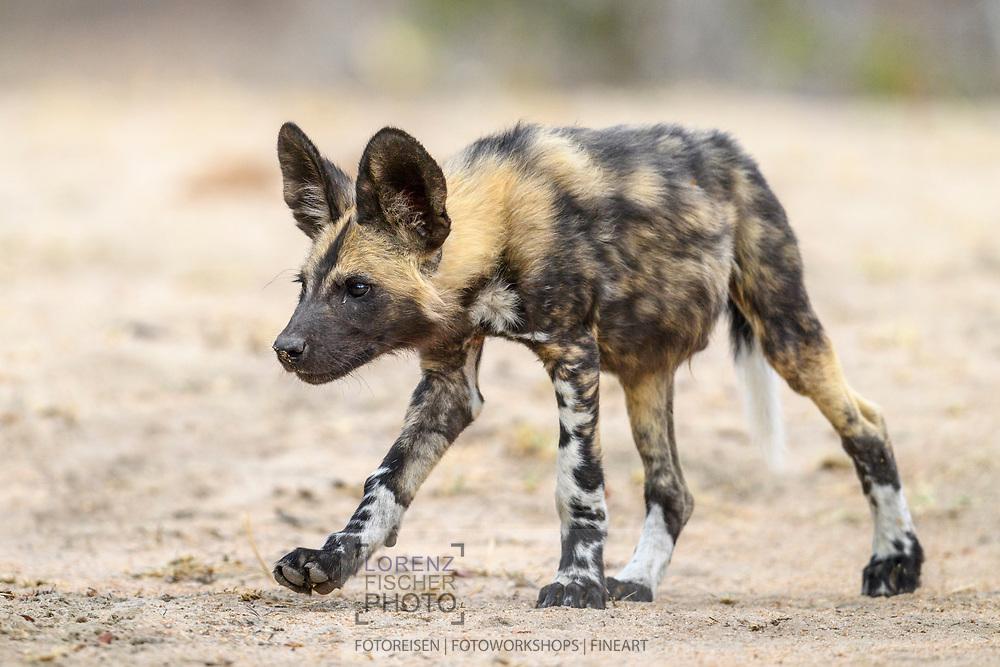 Junge Afrikanische Wildhunde (Lycaon pictus) spielen miteinander, Schutzgebiet Sabi Sands, Südafrika<br /> <br /> African wild dog pubs (Lycaon pictus) are playing, private game reserve Sabi Sands, South Africa