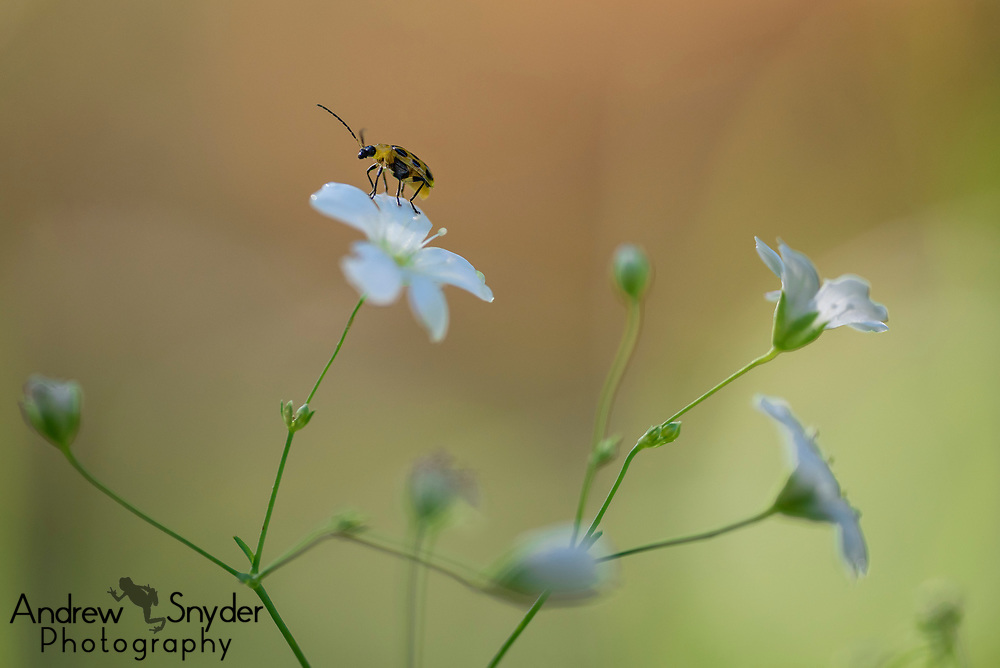 A spotted cucumber beetle (Diabrotica undecimpunctata) sits atop a small white flower.