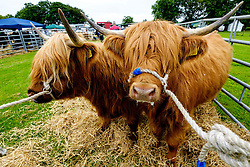 Biggar, South Lanarkshire, Scotland 23 July 2016<br /> <br /> Preparing highland cattle for showing.<br /> <br /> <br /> (c) Andrew Wilson | Edinburgh Elite media
