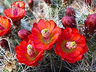 Claret cup cactus bloom, desert wildflower, Arizona