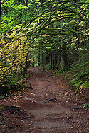 Vine Maples with fall foliage provide a canopy over the Rolley Lake Trail in Rolley Lake Provincial Park, British Columbia, Canada