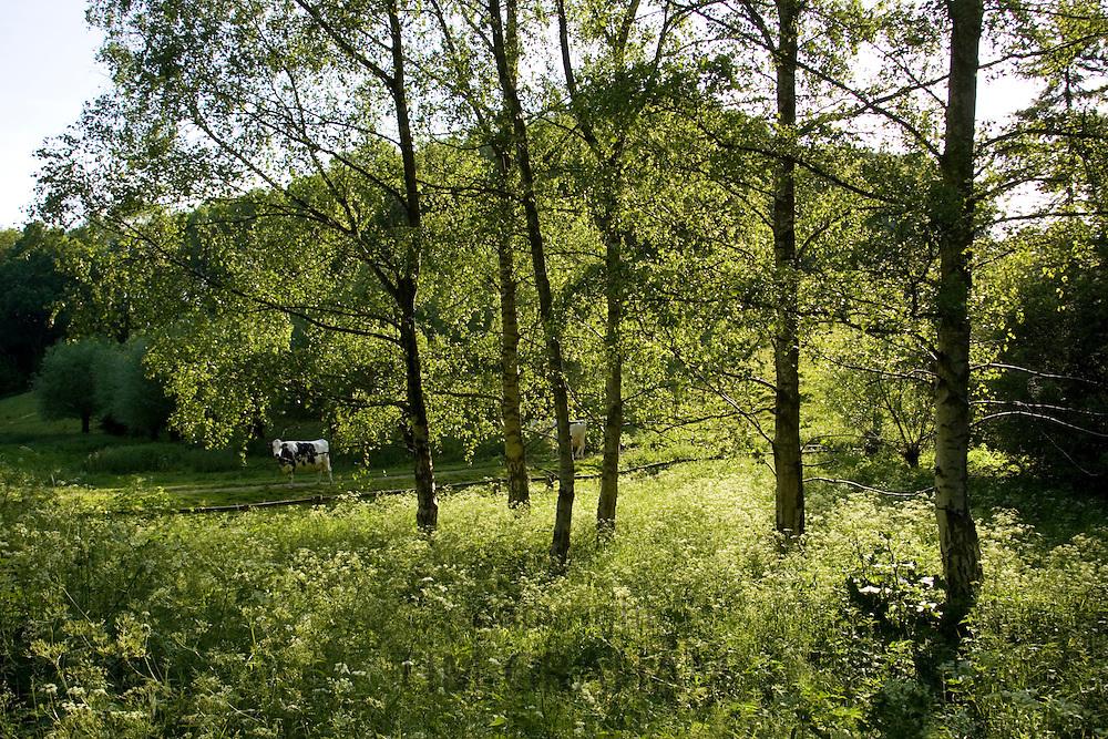 Cows in Oxfordshire field, Swinbrook, England, United Kingdom