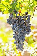 Grape bunches. Torres Penedes Catalonia Spain