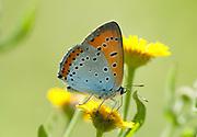Large Copper Butterfly, Dwarf Form, Lycaena dispar, Danube Delta Jacob channel, wet meadow, Dobrogea, Romania, feeding on flower, underside of wings, backlight, colourful