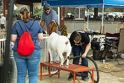 2021-08-06 McLean County 4H Fair.<br /> <br /> Goat Grooming