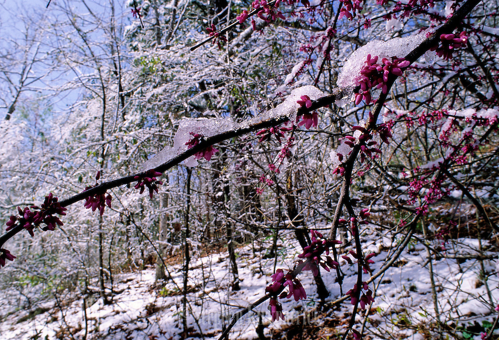 Redbud Tree & Ice after a spring snow storm - Mississippi.