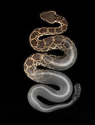 Southern Pacific Rattlesnake (Crotalus helleri). An optical photograph is combined with a high resolution x-ray of the same specimen.  This individual was caught in a rat trap in Santa Monica California.