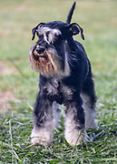 black and silver Miniature Schnauzer. A breed of  ratting dogs, originated in Germany in the mid-to-late 19th century. standing on lawn