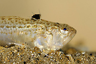 Lesser Weever Echiichthys vipera Length to 15cm<br /> Notorious fish, capable of inflicting painful sting in a bather's foot. Found on sandy beaches, mostly buried in substrate during daytime with just eyes visible. Adult has elongate, laterally flattened body with upturned mouth and eyes on top of head. 1st dorsal fin (with venomous spines) has black membrane; fin is raised in defence. Body is marbled reddish and yellow-grey above, paler below. Widespread and locally common, mainly in S half of Britain.