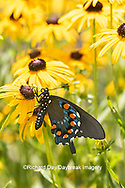 03004-01607 Pipevine Swallowtail (Battus philenor) on Black-eyed Susans (Rudbeckia hirta) Marion Co. IL