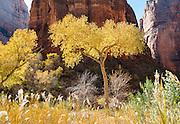 Cottonwood trees at Big Bend, along the Virgin River, below The Organ in Zion National Park, Utah