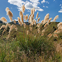 """This tall grass type is native to New Zealand. According to """"Wikipedia"""" - The Mori used the toetoe leaves to make baskets, kites, mats, wall linings and roof thatching. It was also used to make containers to cook food in hot springs. The flower stalks were also useful - as frames for kites, and in tukutuku panelling. The seed heads themselves were used on fresh wounds to stop bleeding. Other medicinal uses included treatment of diarrhoea, kidney complaints, and burns. Toetoe is New Zealand's largest native grass, growing in clumps up to 3m in height."""