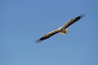 Egyptian vulture, Neophron percnopterus, Madzharovo, Eastern Rhodope mountains, Bulgaria, endangered species