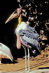 Greater Adjutant Stork At The Jaipur Zoo