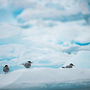 Antarctic terns standing on a small iceberg in Curtis Bay on the Antarctic Peninsula.