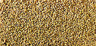 Raw green lentils