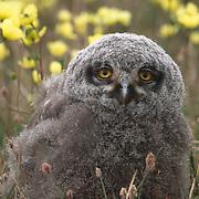 Snowy Owl (Bubo scandiacus) chick. Barrow, Alaska