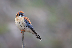 American Kestrel, Swan Valley, Idaho. The American Kestrel, sometimes colloquially known as the Sparrow Hawk, is a small falcon, and the only kestrel found in the Americas. It is the most common falcon in North America, and is found in a wide variety of habitats.