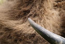Wisent, European bison,  Bison bonasus