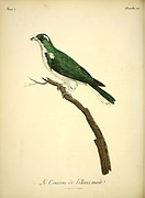 Male Coucou de Klaas Chrysococcyx klaas - Klaas's Cuckoo is a species of cuckoo in the family Cuculidae which is native to the wooded regions of sub-Saharan Africa. The specific name honours Klaas, the Khoikhoi man who collected the type specimen. from the Book Histoire naturelle des oiseaux d'Afrique [Natural History of birds of Africa] Volume 5, by Le Vaillant, Francois, 1753-1824; Publish in Paris by Chez J.J. Fuchs, libraire 1799