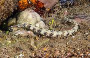 Broken-Bands Pipefish, Papua New Guinea
