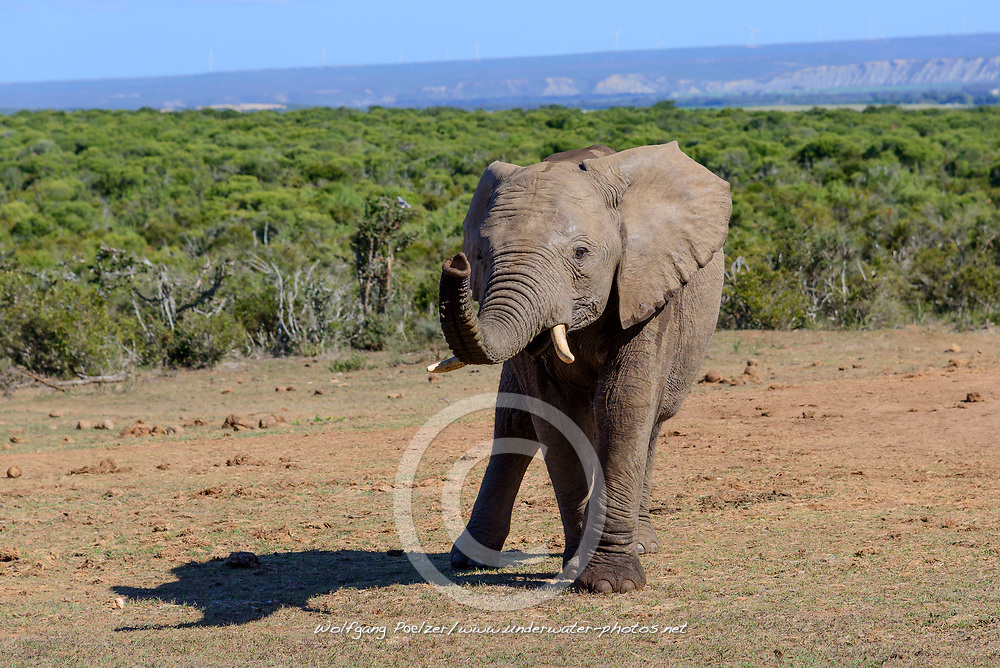 Loxodonta africana, Afrikanische Elefant oder Afrikanischer Steppenelefant, African bush elephant, Porth Elizabeth, Suedafrika, Addo Nationalpark, South Africa, Porth Elisabeth, Addo Natinol Park