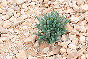 Desert botany Uvda Desert Landscape. Uvda is the name of a region in the southern Negev desert, directly north of Eilat, Israel The Uvda Valley is known for the 7000-year-old Uvda Leopard Temple and other prehistoric sites