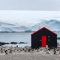 Gentoo penguins nest near a building at Port Lockroy, Antarctica.
