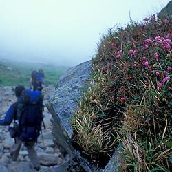Mount Washington, NH..Pale Laurel, Kalmia polifolia, grows next to the Tuckerman Ravine Trail on New Hampshire's Mount Washington.  Hiking in the fog.