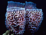 Iridescent Tub Sponge (Spinosella plicifera) Saba
