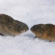 Brown lemming (Lemmus trimucronatus) pair fighting. Barrow, Alaska
