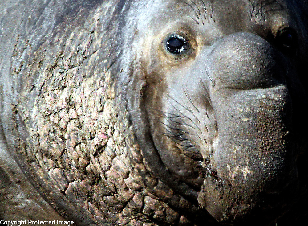 Elephant Seal and Ano Nuevo Coast Natural Preserve in San Mateo County, California.<br /> Photo by Shmuel Thaler <br /> shmuel_thaler@yahoo.com www.shmuelthaler.com