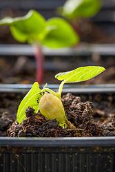 Emerging lablab seedling - Lablab purpureus - Hyacinth bean