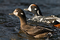 26.05.2008.Harlequin duck (Histrionicus histrionicus) male and female.Laxa River, Mývatn, Iceland