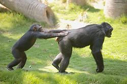 Chimpanzees, Los Angeles Zoo