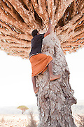 Local man climbing a Dragon Blood Tree, tapping it for its  resin. This resin is used as a medicament and a dye. Dixsam, Socotra, Yemen