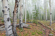 The Hankins Pass Trail weaves through aspen forest on a misty morning in the Lost Creek Wilderness, Colorado.