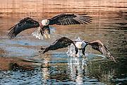 Two Mature Bald Eagles Flying. (Haliaeetus Leucocephalus), Southeast Alaska.