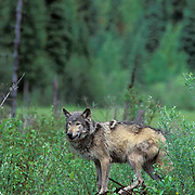 Gray Wolf, (Canis lupus) Portrait of wolf hunting around beaver pond. Captive Animal.