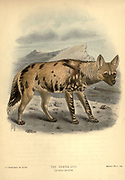 """The African wild dog (Lycaon pictus), [Here as Hyaena Dog] also called the painted dog, or Cape hunting dog, is a canine native to sub-Saharan Africa. It is the largest indigenous canine in Africa, and the only extant member of the genus Lycaon, which is distinguished from Canis by dentition highly specialised for a hypercarnivorous diet, and a lack of dewclaws. From the Book Dogs, Jackals, Wolves and Foxes A Monograph of The Canidae [from Latin, canis, """"dog"""") is a biological family of dog-like carnivorans. A member of this family is called a canid] By George Mivart, F.R.S. with woodcuts and 45 coloured plates drawn from nature by J. G. Keulemans and Hand-Coloured. Published by R. H. Porter, London, 1890"""
