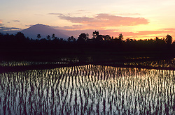 Asia, Indonesia, Bali, flooded rice paddy at sunset, with palm trees and volcano in distance