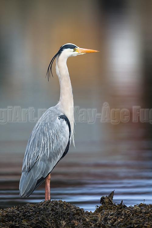 Gray Heron proudly posing for the photographer | Gråhegre poserer stolt for fotografen