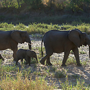 African Elephant, mother with calf, Malamala Game Reserve, South Africa.