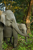Elephants in Manas National Park, India