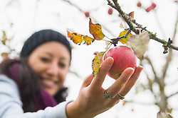 Close-up of a woman picking an apple from a tree in an apple orchard, Bavaria, Germany